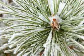 Frozen coniferous pine branch — Photo