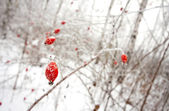 Red dogrose berries — Stock Photo