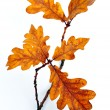 Oak leaves on twig — Stock Photo #3943783
