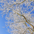 Branches covered with snow — Stock Photo