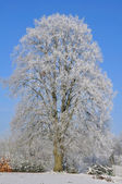 Big tree covered with snow — Foto de Stock