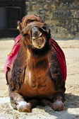 Camel lying in a show — Stock Photo