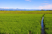 Rice fields of Piedmont — Stock Photo