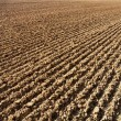 Stock Photo: Furrows in field