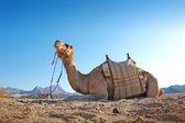 Sitting camel in the desert — Stock Photo