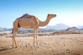 Camel in the desert — Stock Photo