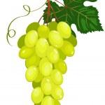 Cluster of dark green grapes. — Stock Vector