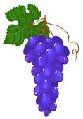 Kluster av mörk blå druvor. — Stockvektor