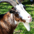 A close up of a goat - Stockfoto
