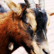A close up of a goat - Zdjęcie stockowe
