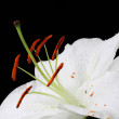 White lily — Stock Photo #4652458