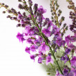 Bunch of lavender flowers — Stock Photo
