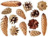 Fir and pine cones — Stock Photo