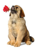 Puppy dog with flower — Stock Photo