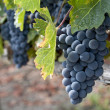 Wine grapes - Stock Photo