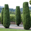 Tall cone junipers - Stock Photo