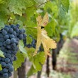 Wine grapes — Stockfoto #4024078