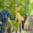Wine grapes — Stock fotografie #4024078
