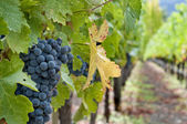 Las uvas de vino — Foto de Stock
