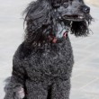 Dog poodle — Stock Photo #5369700