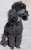 Dog a poodle — Stock Photo