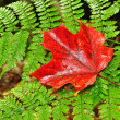 A Single Red Maple Leaf on a Fern — Stock Photo