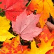 Close-up of a Colorful Maple Leaves - Stock Photo