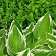 Variegated Hosta Leaves — Stock Photo