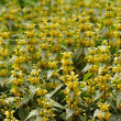 Yellow Flowers on Variegated Yellow Archangel — Stock Photo