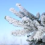 Фрост покрыты еловые ветки — Стоковое фото