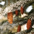 Frost Covered Spruce Tree Branches - Stock Photo