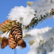 Stock Photo: Frost Covered Spruce Tree Branch