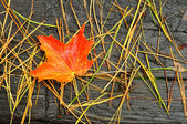 A Single Red and Orange Maple Leaf — Stock Photo