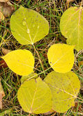 Close-up of a Colorful Aspen Leaves — Stock Photo