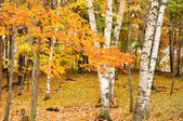Color Maple Leaves and Birch Trees — Stock Photo
