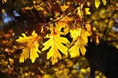 Back Lighting on Oak Leaves — Stock Photo