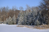 Scenic view of Frost Covered Spruce Trees — Stock Photo