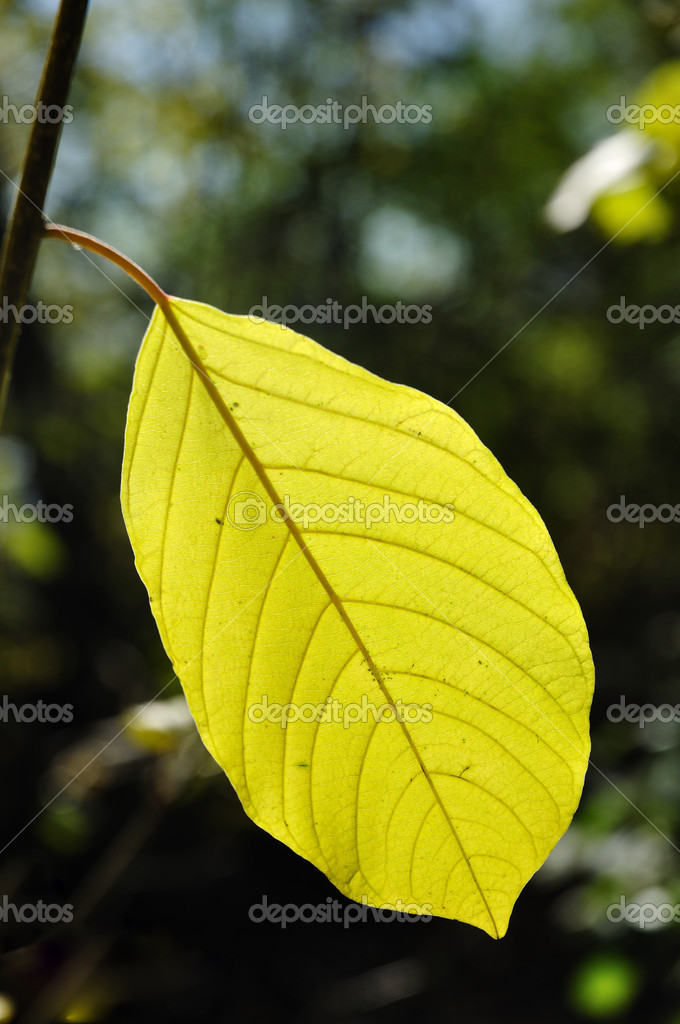Back Lighting on Leaf on a Sunny Day — Stock Photo #5228408