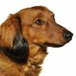 Red Long-Haired Dachshund — Stock Photo #5285717