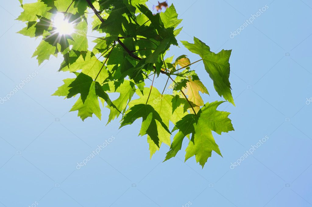 Back Lighting on Maple Leaves with Sun Star Burst — Stock Photo #5285677