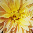 Yellow Chrysanthemum Flower pattern in close — Stockfoto