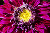 Heart of Chrysanthemum Flower in close — Stock Photo