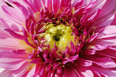 Chrysanthemum Flower pattern in close — Stock Photo