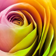 Colorful rose — Stock Photo