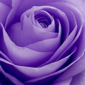 Violet rose macro — Stock Photo