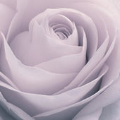 Rose macro — Stock Photo