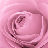 Pink rose macro — Stock Photo