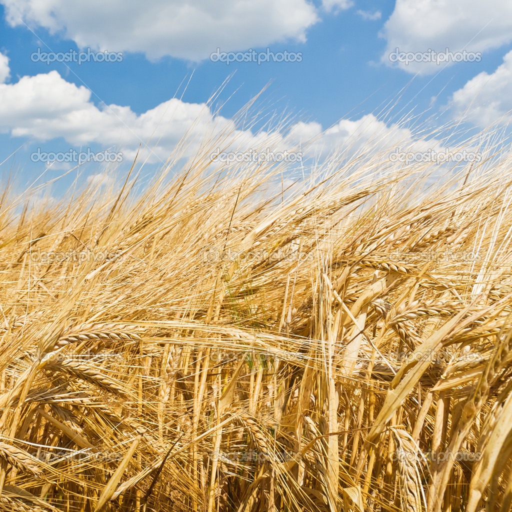 Golden wheat field and blue sky landscape — Stock Photo #5223207