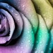 Multicolor rose — Stock Photo