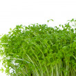 Cress isolated — Stock Photo
